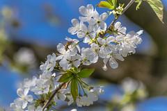 Frühlingstraum (airamatina) Tags: frühling blüten baum biene sonnig outdoor