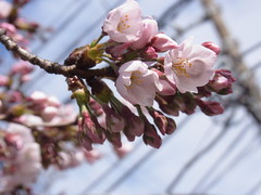 Go with the flow (nofrills) Tags: flora floral plant plants flower flowers blossom blossoms cherry cherryblossom cherryblossoms beginning season spring 桜 ソメイヨシノ urbantree japan 桜色 bud buds powerlines
