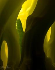 Alien Nation (grantg59@xtra.co.nz) Tags: creature alien worls caterpillar little extension tubes macro kenko green yellow insect grub