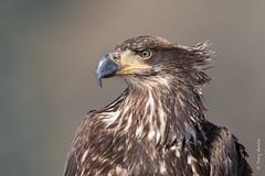 Bald eagle (Haliaeetus leucocephalus) (Tony Varela Photography) Tags: photographertonyvarela baldeagle eagle immaturebaldeagle canon haliaeetusleucocephalus