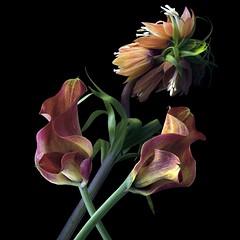 Fritillaria Imperialis & Calla Lilies (Pixel Fusion) Tags: calla lily fritillaria imperialis flower flora nature macro nikon d600