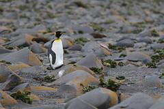 King Penguin on Rocks (laikolosse) Tags: heardisland heardislandexpedition outside nature antarctic subantarctic birds seabirds penguin