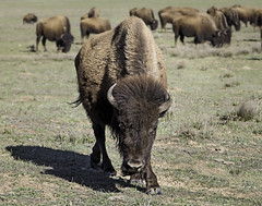 90246936918-87-American Bison-1 (Jim There's things half in shadow and in light) Tags: 2017 america canon5dmarkiv march southwest unitedstates utah outdoors bison buffalo animal wild canon70200lens