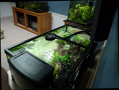 Low maintenance gardening. (LandedInMyEye) Tags: seachem sicce tidal 110 aquarium kessil led pleco catfish goby rimless sump filter aquaclear titanium inkbird controller thermostat a160we a80 jager eheim anubias java fern