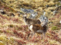 8586 Red Deer Hinds in Glen Garry (Andy - Busyyyyyyyyy) Tags: 20170319 ddd deer glengarry hhh hinds reddeer rrr scotland