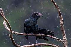 Ecuador Exotic Birds (1 of 25).jpg (donnatopham) Tags: sani ecuador greaterani