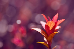 Bursting illumination (Paulina_77) Tags: nikond90 nikon d90 pola77 dof depthoffield closeup details shallow depth blur blurred background blurry bokehlicious selective focusing focus extension rings ring macro warm palette plant red yellow orange pink twig colourful colour colours colorful color leaves foliage mother nature park illimination illuminated backlighting backlit backlight sunlight sunlit contrast bright vivid vibrant intense variegated colored glowing glaring spring blossom bloom garden buds tamronspaf90mmf28dimacro tamron lens tamron90mm tamron90mm28 makro