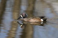 Blue-winged Teal Drake (fethers1) Tags: belmarparklake belmarpark bird coloradowildlife