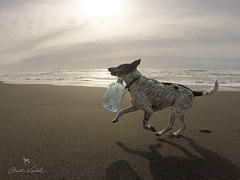 beach cleaning game (Claudia Künkel) Tags: oregon blanca dog bordercolliemix beach garbage plastic bottle