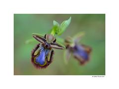 Ophrys speculum (g.femenias) Tags: ophrysspeculum ophrys orchid orchidaceae flower macro bokeh betlem artà mallorca mediterranean abellera moscablava sabatetadelbonjesús