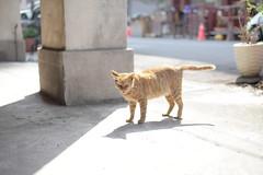 CAT (**Hu) Tags: asia animal taiwan kaohsiung 哈瑪星 猫 cat 戶外 snap street shadow felinae 貓 katze