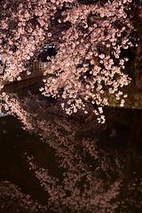 The Silence on the water (K.K.1048) Tags: 桜 高崎 高崎城址公園 群馬 反射 sakura reflection takasaki takasa gunma