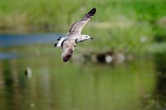 Free As A Bird (the Beatles) (Neil B's) Tags: free bird gull flight spring sprung pan panning
