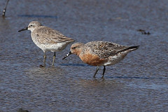 Red Knot (gregpage1465) Tags: calidriscanutus redknot red knots shorebird bird nature wildlife photo photography picture bolivar flats texas greg page gregpage