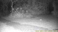 TrailCam222 (ohange2008) Tags: spongecake peanutbutteronbread peanuts trailcam essexgarden april foxes cat