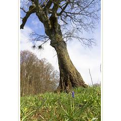 Kohlraisle (horstmall) Tags: birke birch betula bouleau tree arbre wald wiese traubenhyazinthe muscari frühling spring printemps schwäbischealb jurasouabe swabianalps donnstetten zainingen heuberg horstmall bauernbübchen baurabiabla grape hyacinth