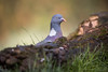 Verstoppertje (Christel Schoepen) Tags: pigeon duif natuur vogel bird oiseau