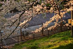 Sakura / Kajo Park 20170424-8 (hatake_s) Tags: sakura cherryblossom flower nature japan yamagata