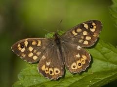 Le début d'une histoire **--- ° (Titole) Tags: tircis butterfly papillon brown green titole nicolefaton thechallengefactory unanimouswinner