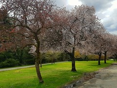 April blossoms (walneylad) Tags: norgate northvancouver britishcolumbia canada spring april clouds sun blossoms trees grass green brown park parkland urbanpark path view nature scenery pink white colour color bloom grey blue sky