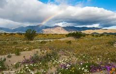Desert rainbow (Photosuze) Tags: landscape desert rainbow flowers sky clouds plants mountains storm flora anzaborrego california