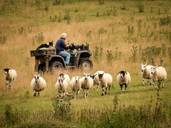 Modern Shepherding (Dyn Photo) Tags: shepherd sheep broadway engeland cotswolds uk