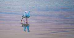 Early-morning-sqwark_DSC5871 (Mel Gray) Tags: redheadbeach seagulls earlymorning newcastle newsouthwales beach seashore birds nature australia firstlight dawn