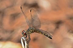 Dragonfly - First of 2017 (deanrr) Tags: backyarddragonfly morgancountyalabama alabama nature outdoor dragonfly bokeh 2017 spring wings immaturebluedasher bluedasher newlyemerged mites photoshopelements13 napg