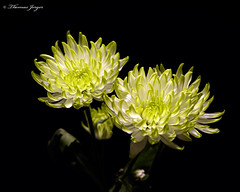 Green White Mum Pair 0407 Copyrighted (Tjerger) Tags: nature beautiful beauty black blackbackground bloom blooming blooms closeup duo flora floral flower flowers green macro mum pair petals plant portrait spring stems two white wisconsin mums natural