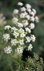 N65009A (Grudnick) Tags: wildflowers weeds nikon n65 slr film c72 200asa fuji 35mm negative fujicolor superia 200