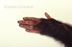 ZOO0064 (Akira Uchiyama) Tags: 動物たちのいろいろ 手 手チンパンジー