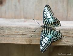 JM foto75-156 (janetankersmit) Tags: 2017 vlinders vlindertuin zutphen