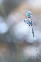 En Duo (donlope1) Tags: nature blur color light butterfly papillon azur argus macro proxi proxy bokeh dof sunrise macrodreams tag