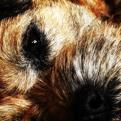 Pickle (michaeljoakes) Tags: instagramapp square squareformat iphoneography uploaded:by=instagram lofi pet dog borderterrier eye pickle hair fur whiskers nose indoor instagram macro