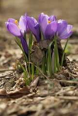 Spring Rising (Schuyler H. Miller) Tags: nature flowers spring crocus purple plant