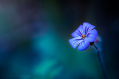 Sony a7 50mm (Jasrmcf) Tags: ilce7 sel50f18f sonya7 sony sonyalpha macro macros macrotube smooth blur dof detail depthoffield purple blue dreamy vintage garden nature ngc greatphotographers bokeh bokehlicious bokehgraph flower flowers petals colourful