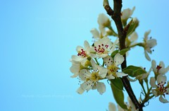 Pear Tree Blossom (Michelle O'Connell Photography) Tags: nature springblossom blossomtree peartree shrub pearblossom flower gardening michelleoconnellphotography