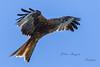 Nibbio reale (Tonpiga) Tags: tonpiga uccelliinlibertà faunaselvatica rapace predatore milvusmilvus nibbioreale
