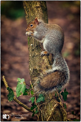 Squirrel (technodean2000) Tags: squirrel sniff test food nose ear animal tree