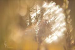 💛 woolgathering 💛 (SteffPicture) Tags: grass gräser grassland bokeh naturbokeh morning morninglight steffpicture golden löwenzahn dandelion springtime verblüht woolgathering träumereien goldenhour
