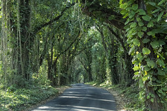 Pohoiki Rd, Pāhoa, Puna area, Big island, Hawaii (Louis Geoffroy) Tags: small road forêt luxuriante pluviale tropicale rain forest lush tropical