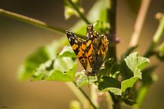Alas (sierramarcos14695) Tags: quetzaltenango gautemala sony a58 minolta rokkor explorando ciudad cotidianidades jardin belleza nature naturaleza macro profundiad de campo hojas planta mariposa alas butterfly delicadez