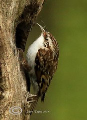 Tree Creeper. (Olive Taylor. Thank you for your visit.) Tags: treecreeper trees birds beaks bbcspringwatch nature northumberland northeastengland
