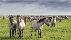 Oostvaardersplassen (Hans van der Boom) Tags: nederland netherlands ijsselmeerpolders flevopolder oostvaarderplassen animal konik horses paarden herd lelystad nl perpetualwinner