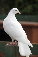 White Dove (My Learning Curve) Tags: whitedove dove bird