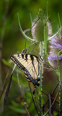 Danger Zone (Portraying Life, LLC) Tags: michigan unitedstates butterfly insect handheld nativecolor meadow thistle