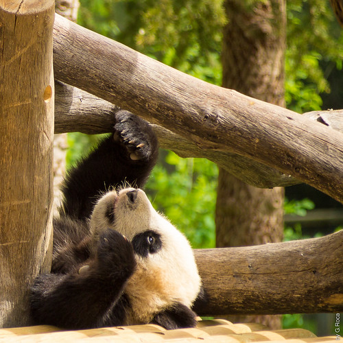 It's a Sunny Afternoon (Panda Cub, Madrid's Zoo, Spain)