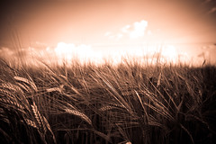 Wheat Field Textures (Pixelglo Photography) Tags: wheat wheatfield crop crops field agriculture sky clouds farm nature