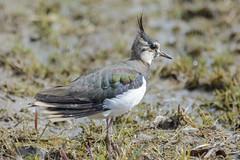 Northern lapwing - Vanellus vanellus (timohannukkala) Tags: bird d7100 ilmarinjärvi nature nikon töyhtöhyyppä vanellus vanellusvanellus northern lapwing