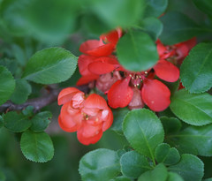 DSC05388 (Old Lenses New Camera) Tags: sony a7r nikon micronikkor ai 105mm f4 plants garden flowers quince macro